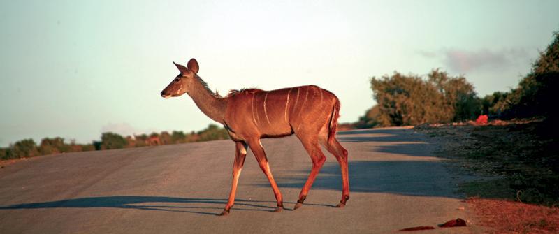 'Wildwechsel' in Südafrika
