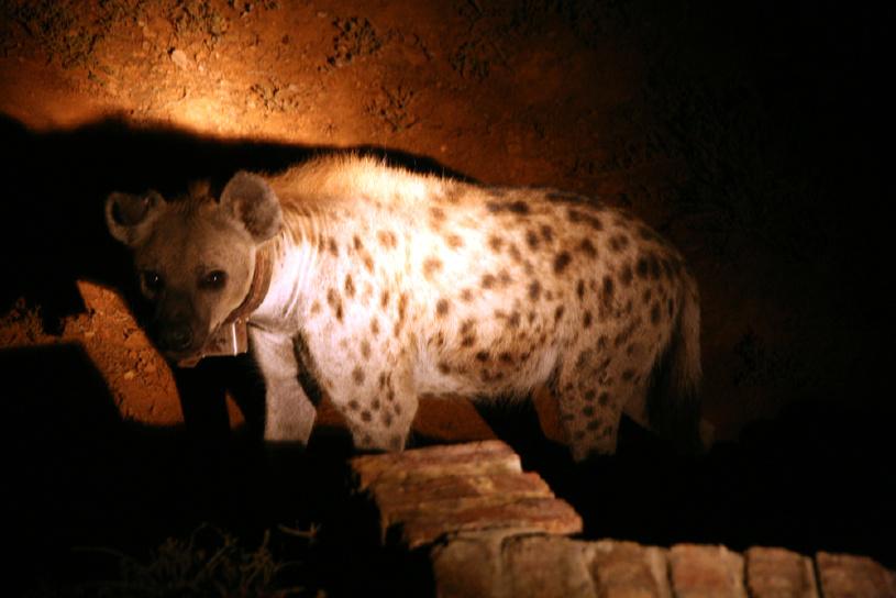 Hyäne bei Nacht