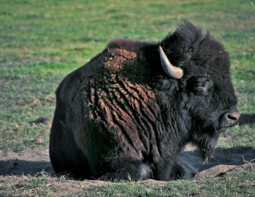 Auf dem Weg entdecken wir echte Bisons.