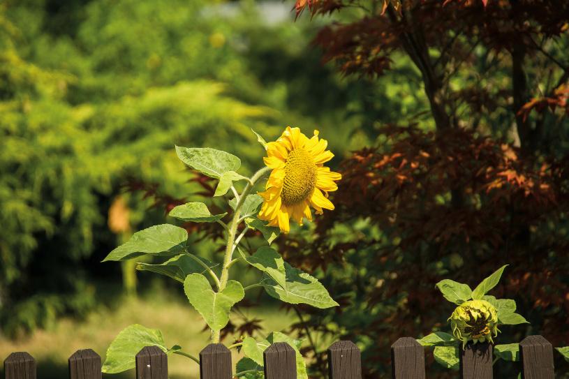 Sonnenblumen am Wegesrand.